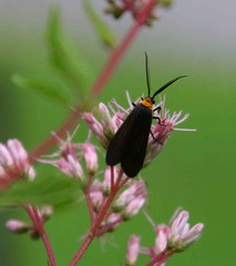 2012_08_01_9999_173 vv-1 (george_gww) Tags: grapeleafskeletonizer virginiactenucha