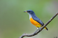 Flowerpecker on a stick #2 (kengoh8888) Tags: wild orange cute male green pose pentax background small ngc clean npc perch bellied creamy k5 thegalaxy flowerpecker