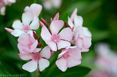 Pink Oleander (S2203114) (Roy Prasad) Tags: california leica pink summer usa flower macro nature walking spring hiking apo trail prasad oleander s2 120mm summarit neriumoleander royprasad summarits