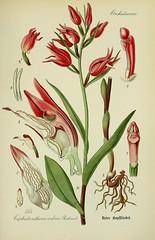 Anglų lietuvių žodynas. Žodis cephalanthera rubra reiškia <li>cephalanthera rubra</li> lietuviškai.