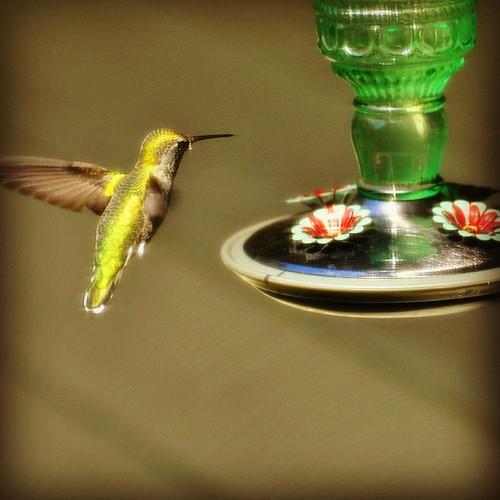 Female Anna's Hummingbird I