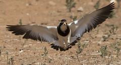 banded lapwing (Jim Bendon) Tags: karratha australianbirds pilbara bandedlapwing bendon birdsinfilght