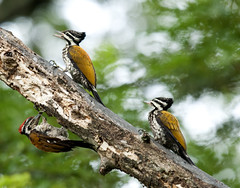 Flame-backed woodpeckers - 1 (Dato' Professor Dr. Jamaludin Mohaiadin) Tags: family birds photo woodpecker nikon birding malaysia professor nikkor f28 sungai perak kinta 400mm burung tc14eii d90 jamaludin dato flamebacked mohaiadin
