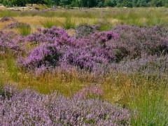 Drunense Duinen . (Franc Le Blanc .) Tags: nature landscape lumix heather panasonic duinen blooming drunen giersbergen
