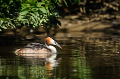 Great Crested Grebe (jakewchitty) Tags: bird london water thames river nest wildlife great surrey crested grebe nesting photograhy ditton