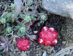 Stonecrop (Sedum sp.), Duilhac sous Peyrepertuse (Niall Corbet) Tags: france languedoc roussillon aude duilhacsouspeyrepertuse peyrepertuse flora flower stonecrop sedum