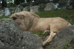 Leone Bianco (querin.rene) Tags: renéquerin qdesign parcolecornelle parcofaunistico lecornelle animali animals leonebianco sudafrica leone lion whitelion
