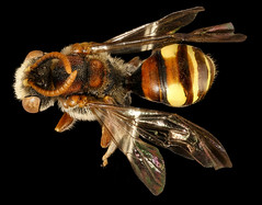 Nomada denticulata, m, back, Charles Co. Maryland_2016-06-27-16.02.25 ZS PMax UDR (Sam Droege) Tags: zerenestacker stackshot geologicalsurvey unitedstatesgeologicalsurvey departmentoftheinterior droege biml beeinventoryandmonitoringlaboratory bug bugs canon closeup macro insect patuxentwildliferesearchcenter pwrc usgs dofstacking stacking canonmpe65 taxonomy:binomial=nomadadenticulata bee bees apoidea hymenoptera pollinator nativebee amandarobinson charlescounty maryland