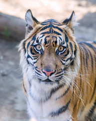 Manis  ♀ - Reservation (Belteshazzar (AKA Harimau Kayu)) Tags: manis zoo tiger cat asian asiancat bigcats sumatran pantheratigrissumatrae animal sumatratiger tigredesumatra суматранскийтигр tygrsumaterský tygryssumatrzański sumatraansetijger szumátraitigris uenozoologicalgardens tigre тигр tygr tijger tigris fuengirola spain ueno 수마트라호랑이 苏门答腊虎 虎 tokyo hổsumatra sumatrakaplanı เสือโคร่งสุมาตรา सुमात्रनवाघ სუმატრისვეფხვი טיגריססומטרה harimausumatera ببرسوماترایی predetor beast carnivorous flesheating tiikeri sumatrantiikeri the spaniard mr wonderful hypnotic portrait brytne toronto rengat kali amanandawoman einmannundeinefrau unhombreyunamujer unuomounadonna גברואישה unhommeetunefemme мужчинаиженщина enmanochenkvinna зоопарк уэно bouy melancholy sweet