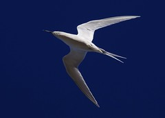 White fronted tern - Sterna striata (mpp26) Tags: whitefrontedtern sternastriata newzealand seabird fish flight blue sky streamlined