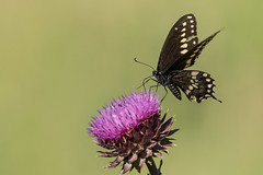 Black Swallowtail (Boulder Flying Circus Birders) Tags: blackswallowtail papiliopolyxenes butterfly colorado boulder wildbirdboulder wildbirdcolorado wildbirdcompany formerwildbirdcenter birdseed birdwalk meyersgulch walkerranchopenspace bouldercountyparksandopenspace nealzaun