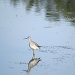 Lesser yellowlegs (click to zoom) thumbnail