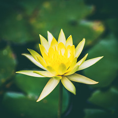 Too Beautiful to Name (Thomas Hawk) Tags: america houston mercerbotanicgardens nymphaeaceae texas usa unitedstates unitedstatesofamerica waterlillies flower waterlily fav10