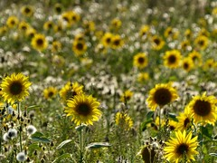 In amongst the yellows. (sunset1uk) Tags: sunflower sunflowers yellowflower yellowflowers wildflowers wildflower southdowns hangleton hove eastsussex england autofocus