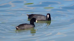 American Coot (Fulica americana) (kristenlanum) Tags: americancoot beak bird blue cabosanlucas fowl mexico nature reflection riviera travel water white wild