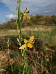 Echeandia flavescens, Torrey's crag-lily (Sue Carnahan) Tags: saleroranchsantacruzcoarizona asparagaceae