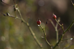 rosehips (louisa_catlover) Tags: garden nature outdoor mtwilson mountwilson bluemountains nsw australia winter august 2016 bokeh dof depthoffield canon eos 60d helios helios442 m42 58mm f2 manual russian vintagelens manualfocus plant flora floral botanical art artistic rose hips fruit seeds rosa rosaceae