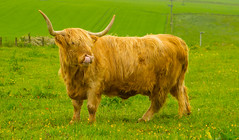 Well .......What Do You Do When You Haven't Got A Kleenex (williamrandle) Tags: cow sandend cullen banffshire moray northeastscotland highlandcattle pasture field horns spring 2016 outdoor landscape animal beast nikon d7100 tamron2470f28vc