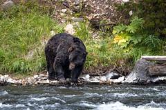 Bear Claws (RH Miller) Tags: rhmiller reedmiller wildlife bear grizzlybear water yellowstoneriver yellowstonenationalpark usa