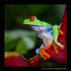 Red-eyed tree frog, Costa Rica (Marc Funkleder Photography) Tags: costarica frog treefrog redeyedtreefrog agalychniscallidryas rainetteauxyeuxrouges rainette phyllomedusidae amphibien amphibian arboricol arboreal red rouge redeyed yeuxrouges oeilrouge nature sauvage wild macro nikon nikond750 nikon105mm nuit night noflash sansflash animal tropical frettropicale frethumide rainforest amriquecentrale centralamerica arenalnaturaecologicalpark vert green