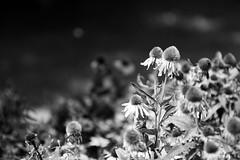 Coneflower (joeldinda) Tags: home mulliken michigan d500 nikond500 2016 garden 3252 august yard flowers coneflower bw blackandwhite nikon monochrome 49365