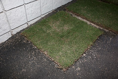 IMG_9810 (UGA College of Ag & Environmental Sciences - OCCS) Tags: grass turfgrass tiff419 419 sanfordstadium privet hedge hedges scoreboard