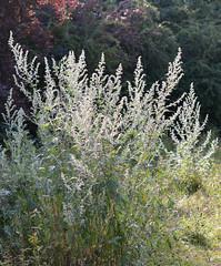 Artemis vulgaris (Mugwort) (sianmatthews25) Tags: artemis vulgaris mugwort greenline nottinghamshire flora sk53
