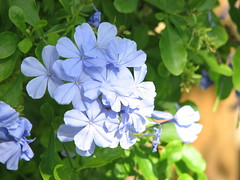 Plumbago (Terry Hassan) Tags: florida usa hollywood garden flower leaf leaves green blue plumbago