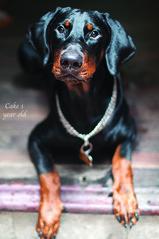 Cake 1 year old (n_dangthuy) Tags: cake pet dog dobermandog huntingdog hanoipetrescuecentre adopteddog 1yearold cute cutie