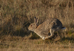 Rabbit-1462 (Kulama) Tags: rabbit run nature wildlife animals sunrise canon7d sigma150600c563