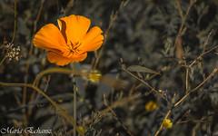 Orange (MacaPDX) Tags: californiapoppy orange hillsboro jacksonbottomwetlands wildflower flower summer hiking preserve wild nature naturaleza flor oregon pnw pacificnorthwest