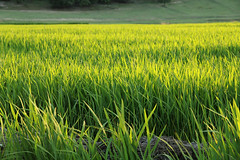 fields of rice (zeynepyil) Tags: eltik rice pky uzunkpr turkey edirne pirin trakya