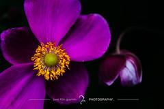 today and tomorrow //  (zwei_kilo_gramm) Tags: sapporo autumn 9  nature flower aneone  september   anemone macro japaneseanemone hokkaido     japan