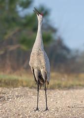 Gentle Giant (PeterBrannon) Tags: bird circlebbarreserve crane florda florida gruscanadensis lakeland nature polkcounty sandhillcrane tallbird wildlife display
