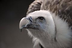 Portrait von einem Geier- Portrait of a vulture (383) (Jrg Arlandt) Tags: 70300mm d610 geier greifvogel nikon tiere tierfoto tierportrait urlaub2016 vogel vulture