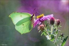 Cedronella sui settembrini. (valpil58) Tags: gonepteryxrhamni cedronella macro bokeh trioplan m42 butterflies butterfly farfalle farfalla yellow red backlighting