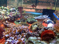 2012-8-8-aquatic_life-alabama-phenix_city-aquraiums-marine-salt_water-fish-invertebrates-live_rock-coral-06 (Aquatic Life) Tags: marine anemone sponge crustacean liverock saltwater invertebrates aquariums livecoral reeftanks
