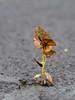 Pushing Through (Μichael) Tags: plant tree saveme3 deleteme10 pavement crack