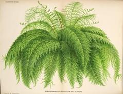 Anglų lietuvių žodynas. Žodis genus pityrogramma reiškia genties pityrogramma lietuviškai.