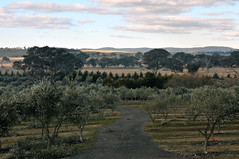 Fedra Olive Grove | Collector, New South Wales (Ping Timeout) Tags: new city travel blue grandma winter sky holiday plant tree wales work landscape cafe highway afternoon little grove farm south under sydney harvest olive australia down bakery plantation nsw oil metropolis produce hume metropolitan collector fedra