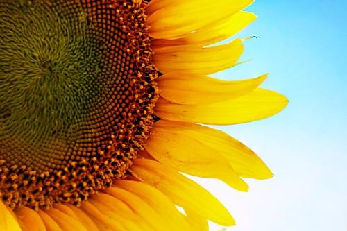 Sunflower v1
