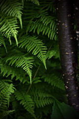 ferns (p.baccarella) Tags: fern green forest woods dpsgreen