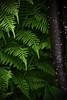 ferns (p.baccarella) Tags: fern green forest woods dpsgreen
