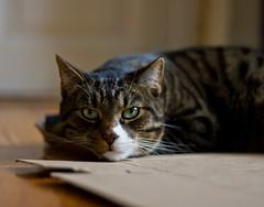 Cat (jonasdm) Tags: animal cat kat gato katze mammals tier dyr mamferos sugetiere pattedyr