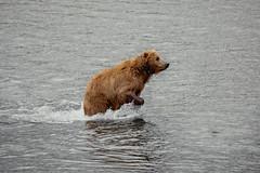 Kodiak Bear, Kodiak Island, Alaska (lostin4tune - Thank's for a million views!) Tags: wild usa canada animal alaska fauna eau bc earth britishcolumbia wildlife terre beast grizzly animaux insidepass