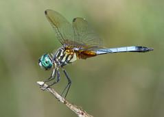 Blue dasher (jim_mcculloch) Tags: dragonflies odonata