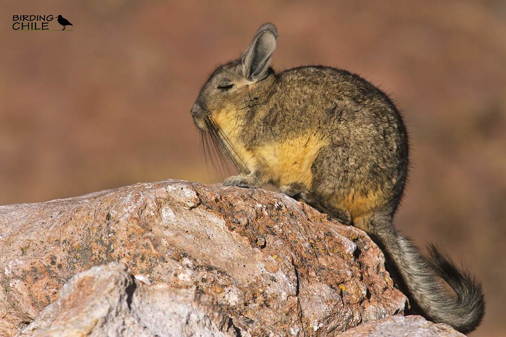 the world 39 s best photos of rodent and viscacha flickr hive mind. Black Bedroom Furniture Sets. Home Design Ideas
