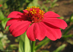 Vibrante (Photopotica - Marilena - 530.000 visualizaes) Tags: flower flor redflower thegalaxy florvermelha aug202012