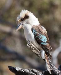 Eyeing a bug (Geoff Main) Tags: bird nationalpark australia act kookaburra orroralvalley namadginationalpark canonef100400f4556lisusm canon7d