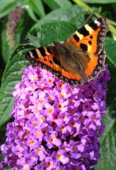 "Small Tortoiseshell (Aglais urticae)((5) • <a style=""font-size:0.8em;"" href=""http://www.flickr.com/photos/57024565@N00/7833270496/"" target=""_blank"">View on Flickr</a>"